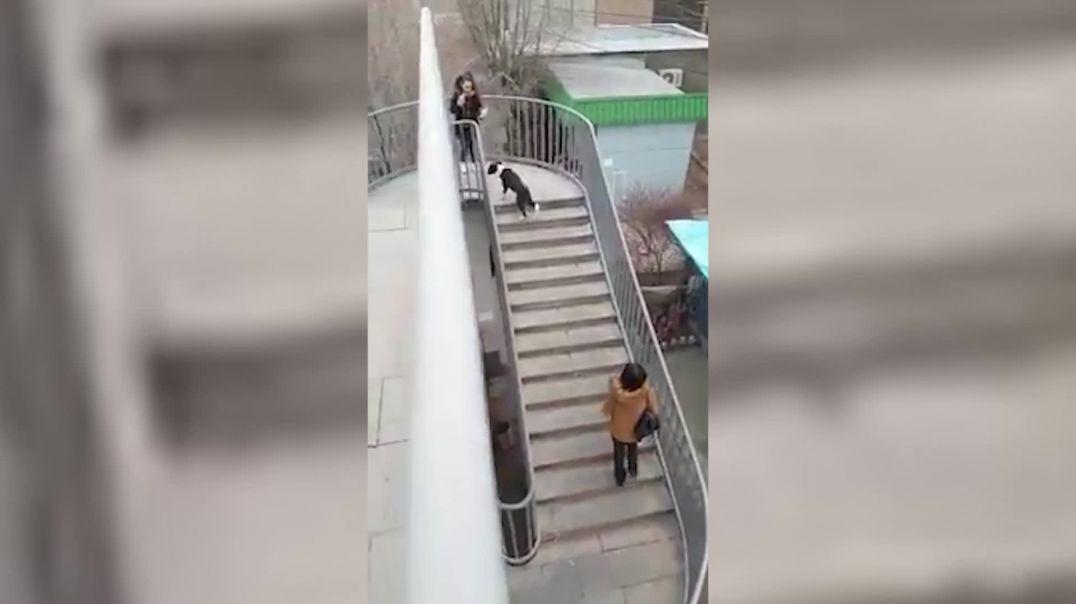 Խելացի շունը․ Հարգելի հետիոտներ, ահա այսպես պետք է հատել փողոցները